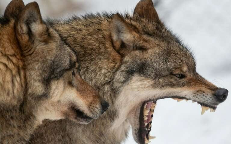 I conquered the wolves.